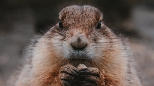 Preview wallpaper animal, cute, fluffy, food, gopher