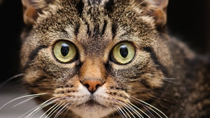 Preview wallpaper cat, close-up, eyes, face, fear