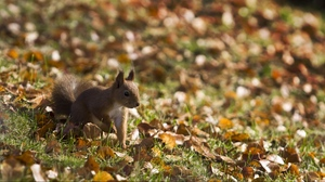 Preview wallpaper fall, grass, leaves, squirrel, walk