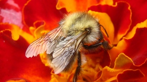 Preview wallpaper bee, flower, insect, macro, nectar, pollination