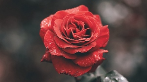 Preview wallpaper dew, flower, red, rose, wet