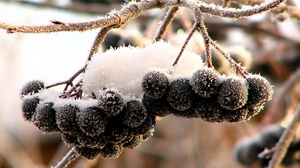 Preview wallpaper berries, black, clusters, fruits, hoarfrost, mountain ash, snow