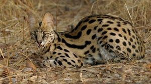 Preview wallpaper aggressive, grass, lie, serval cat, spotted