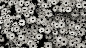 Preview wallpaper black white, daisies, flowers, grey