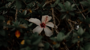 Preview wallpaper branches, flower, hibiscus, leaves, white