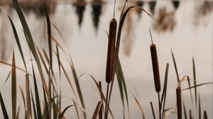 Preview wallpaper grass, lake, reed, shore, water