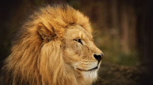 Preview wallpaper background, face, lion, look, waiting