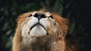 Preview wallpaper face, lion, looking upwards, nose