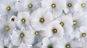 Preview wallpaper flowers, many, pollen, small, white
