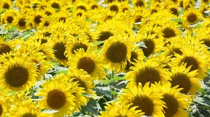 Preview wallpaper many, mood, summer, sunflowers, sunny