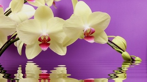 Preview wallpaper orchid, reflection, twig, water