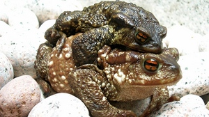 Preview wallpaper couple, frogs, rocks