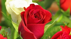 Preview wallpaper buds, close-up, red, roses, white