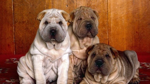 Preview wallpaper color, hair, puppies, shar pei, three
