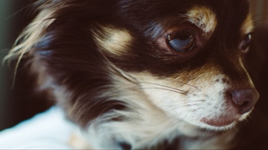 Preview wallpaper dog, fluffy, muzzle, small