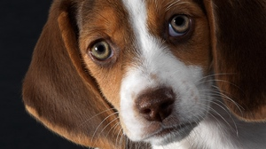Preview wallpaper beagle, dog, ears, puppy, snout