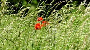Preview wallpaper field, greenery, nature, poppies, spikes