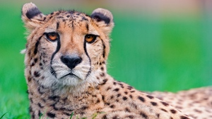 Preview wallpaper big cat, cheetah, face, spotted