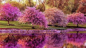 Preview wallpaper cherry, pond, reflection, spring, trees