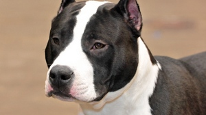 Preview wallpaper dog, muzzle, staffordshire terrier