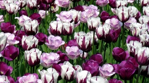 Preview wallpaper colorful, flowerbed, flowers, green, tulips